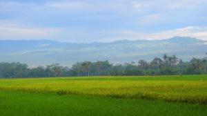 Sawah dan ladang, bulir padi sudah menguning